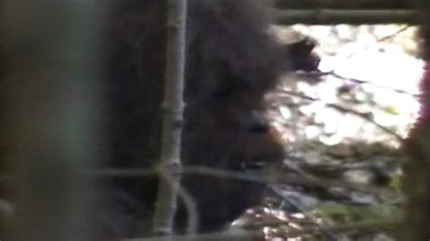 Bigfoot Exists, Research Team Claims Video - ABC News