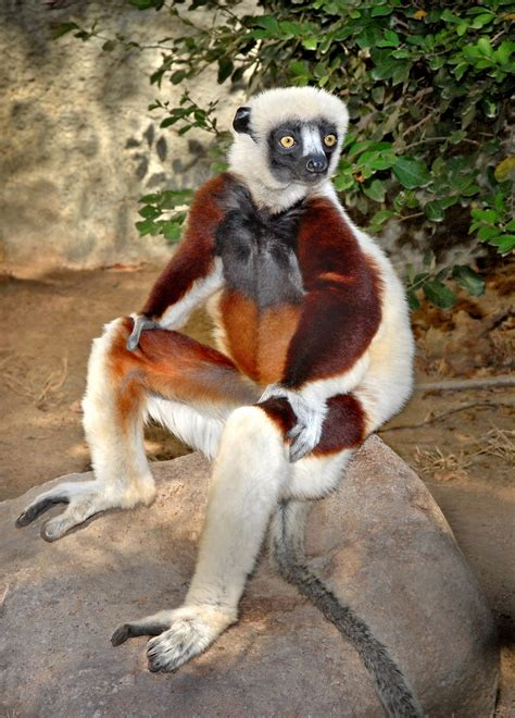 Regis Philbin Receives Sifaka For His Birthday From Betty