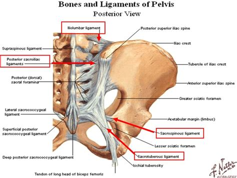 posterior view of pelvis   Sacrotuberous Ligament (With