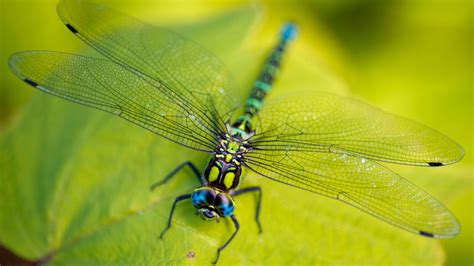 Wallpaper Dragonfly, leaves, wings, green, insect, macro