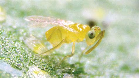Beneficial Predators Can Help Control Whiteflies On